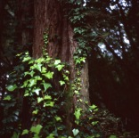lemon trees and redwoods :: sebastopol, ca :: 2013 :: ektachrome