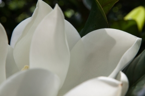 magnolia, you sweet thing | tennessee | june-july 2012-13 | canon digital images