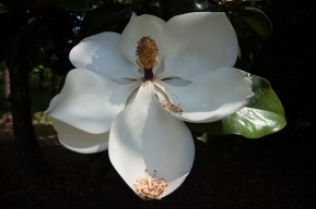 magnolia, you sweet thing   tennessee   june-july 2012-13   canon digital images