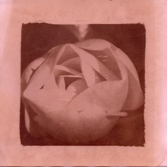 rosesplit003