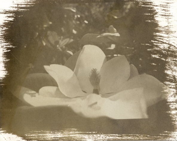 magnolia :: first salt print :: | salt print 2012 | image 2011