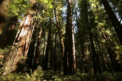 cali*redwoods&stars*15