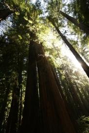 cali*redwoods&stars*3