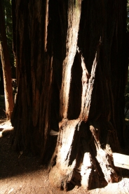 cali*redwoods&stars*5