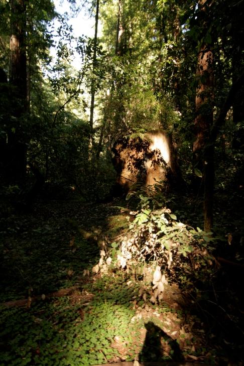 cali*redwoods&stars*6