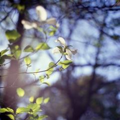 dogwoods-4