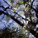 dogwoods-6
