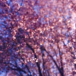 blossoms-shed003