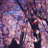 blossoms-shed005