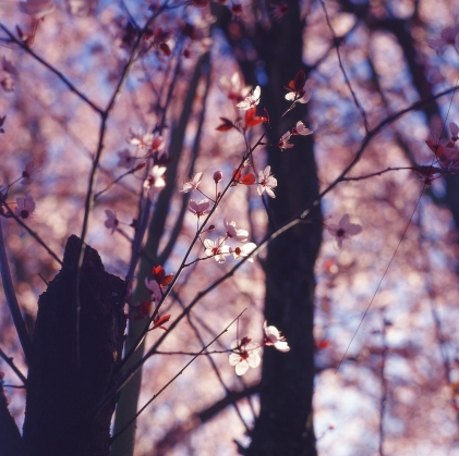 blossoms-shed006
