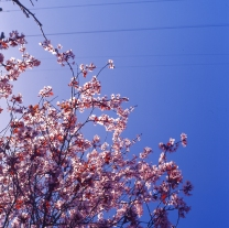 blossoms-shed009