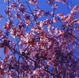 blossoms-shed010