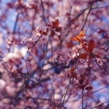 blossoms-shed011