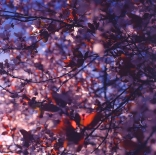 blossoms-shed012